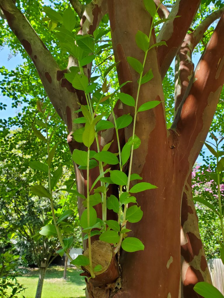 New branches on a crepe myrtle tree.